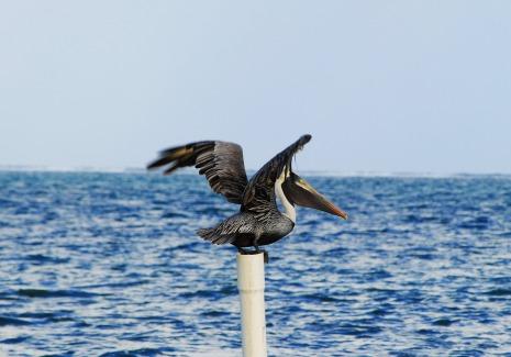 pelican-1068333_1920