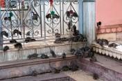 Karni-Mata-rat-temple