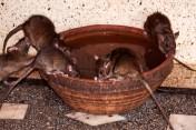 Karni-Mata-temple-rats-drinking-water